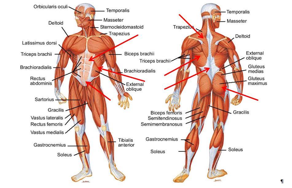 Gemütlich Anatomie Der Rückenmuskulatur Bilder - Anatomie Von ...